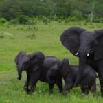 Elefantfamilie i Botswana